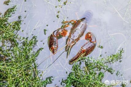 养殖龙虾一亩利润多少(养殖小龙虾一亩地需要投资多少钱)